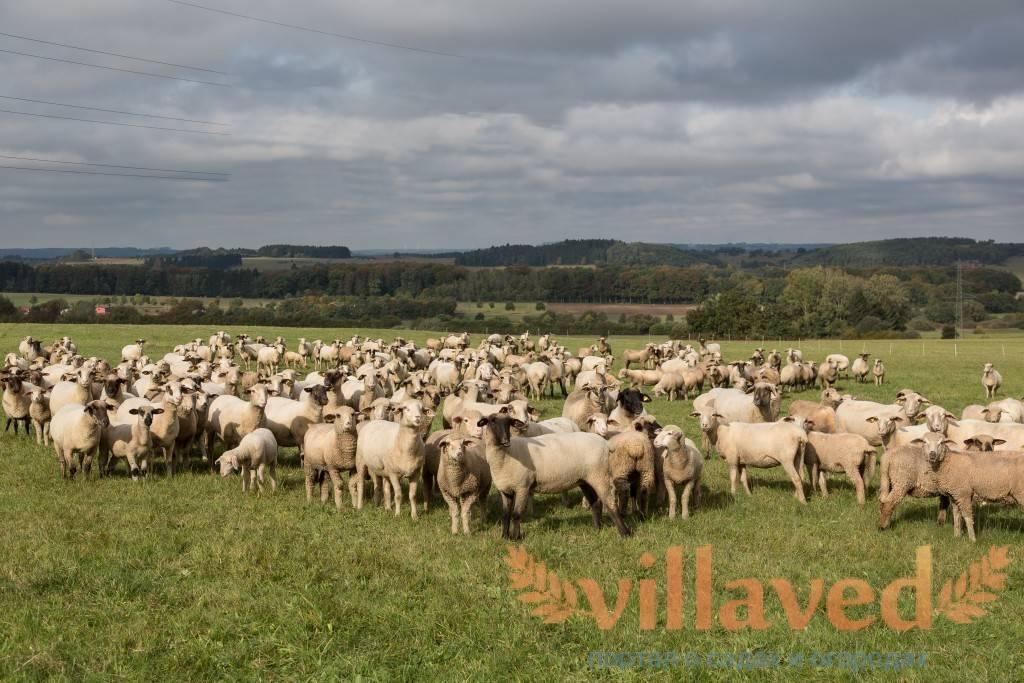 Катунская порода овец которых не надо стричь: описание и характеристика