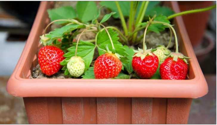 Выращивание клубники на подоконнике круглый год в домашних условиях
