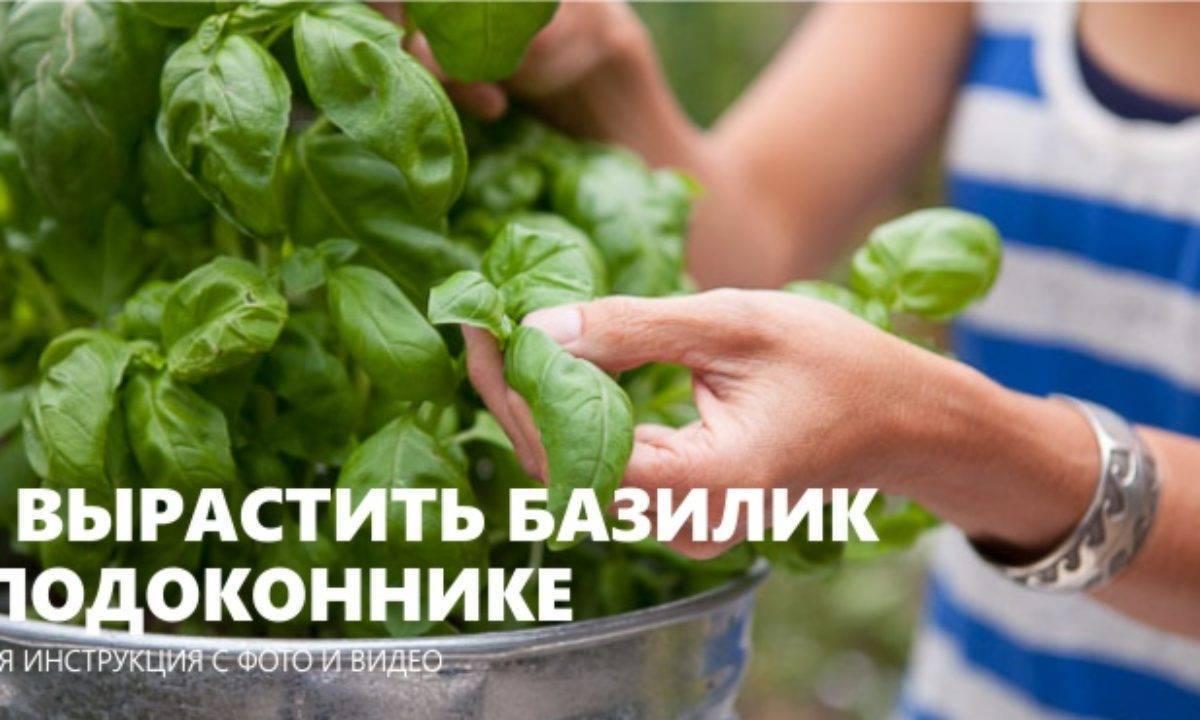 Базилик на подоконнике выращивание из семян в домашних условиях, зимой, фото видео