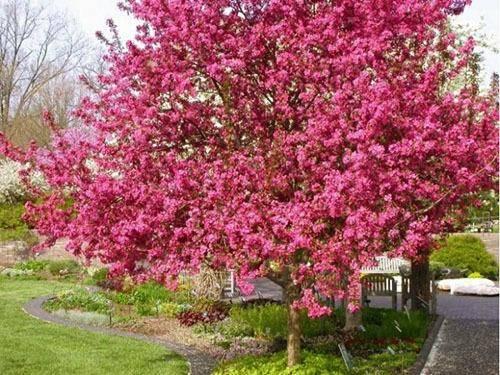Яблоня недзвецкого: описание сорта, как посадить и вырастить