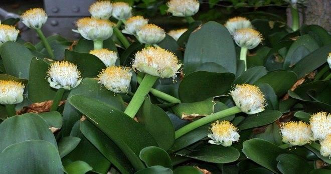 Гемантус: уход в домашних условиях, размножение и виды, фото