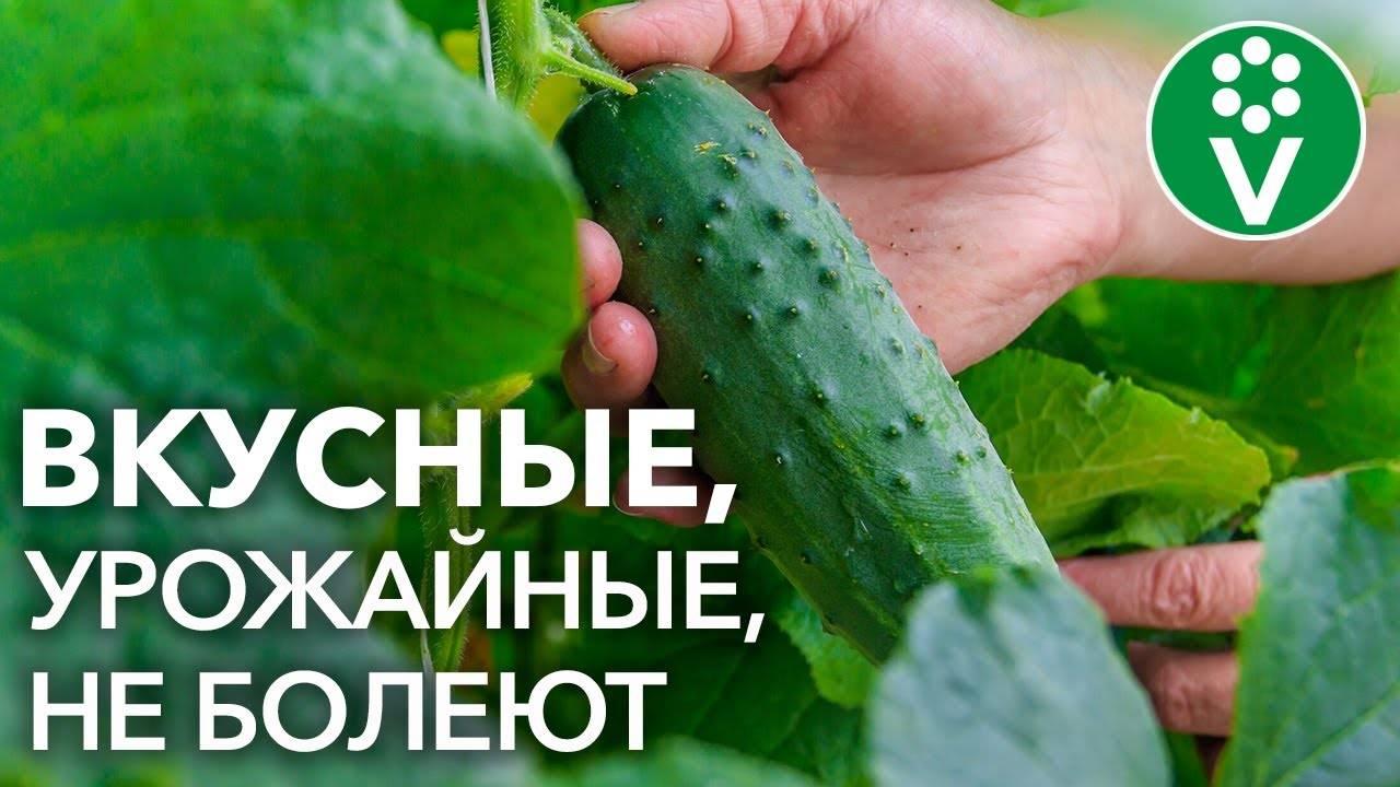 Лучшие сорта огурцов для открытого грунта: описание и фото, урожайные, самоопыляемые