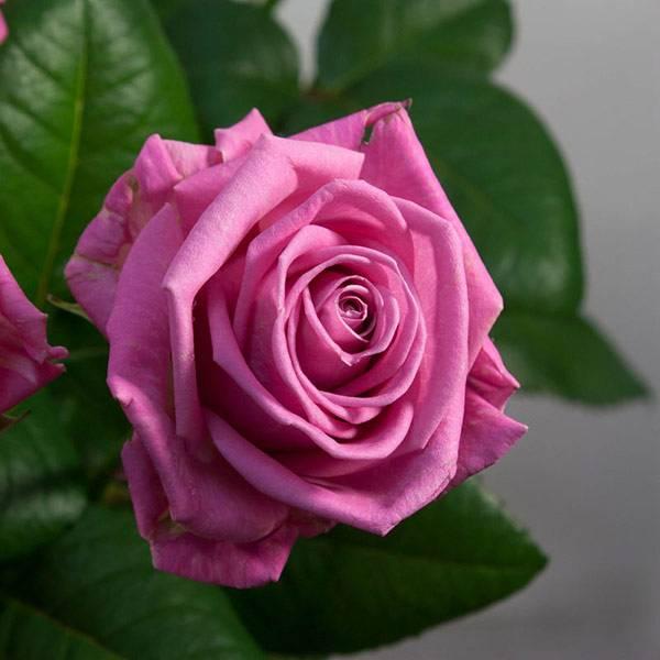 ᐉ как вырастить розу голландскую - godacha.ru