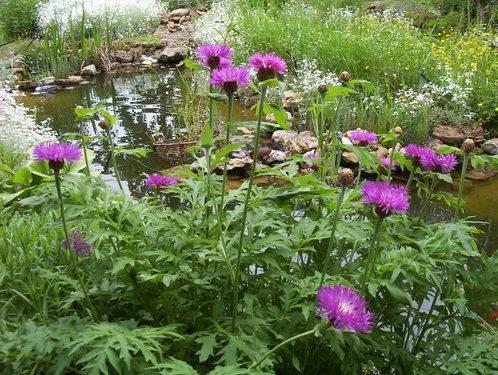 Многолетние васильки посадка и уход в открытом грунте, как вырастить из семян волошку