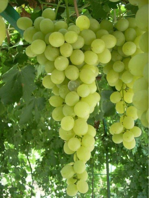 Виноград рута — описание сорта и отзывы