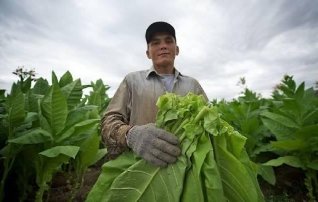 Выращивание табака в домашних условиях- сорта, посадка и уход