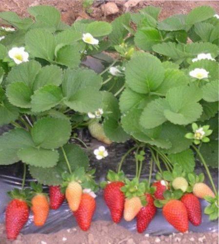 Клубника фриго или материал для ягодных посадок круглый год.