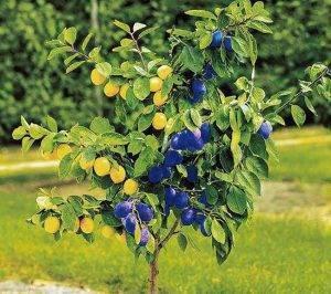 Основные правила прививки плодовых деревьев