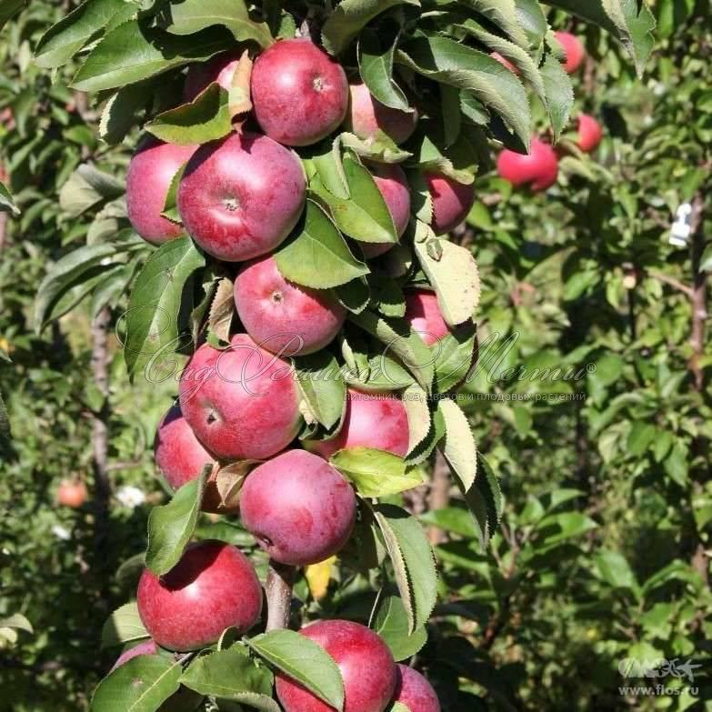 Колоновидная яблоня президент. описание сорта, характеристики, посадка и уход, отзывы