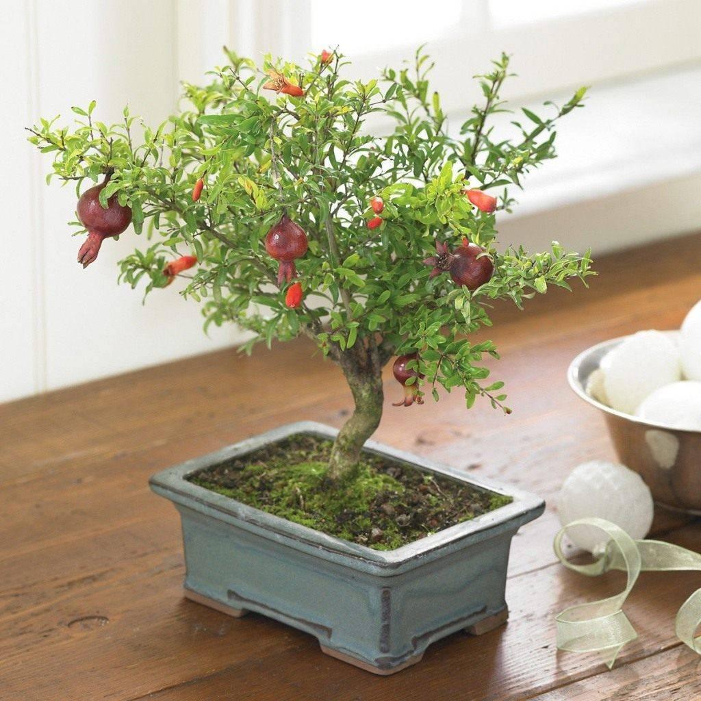 Гранат из косточки в домашних условиях: выращивание и уход