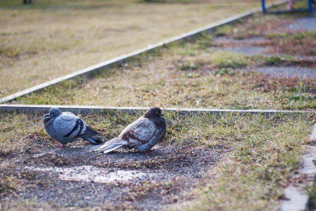 Как отличить голубя от голубки