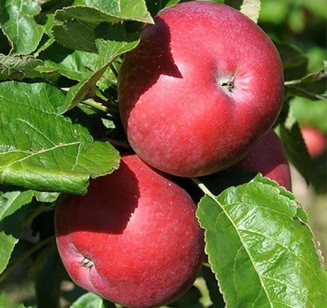 Яблоня приокское колоновидная: описание сорта, фото, отзывы