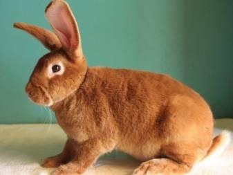 Породы кроликов: описание и разновидности