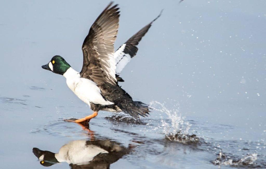 Бэров нырок: фото необычной утки, где живет нырок?