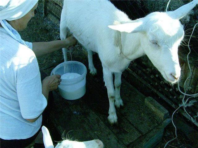 Мастит у козы - признаки и лечение после окота в домашних условиях 2021