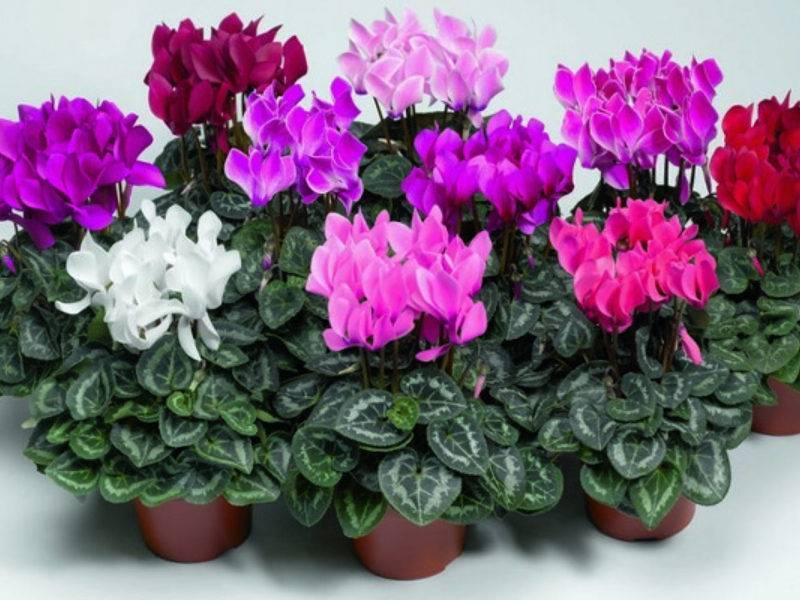 Цикламен домашний - уход, фото, выращивание из семян