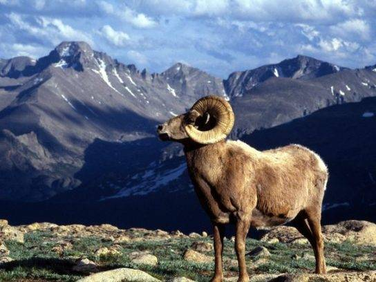 Баран - 91 фото крайне полезного для человечества животного