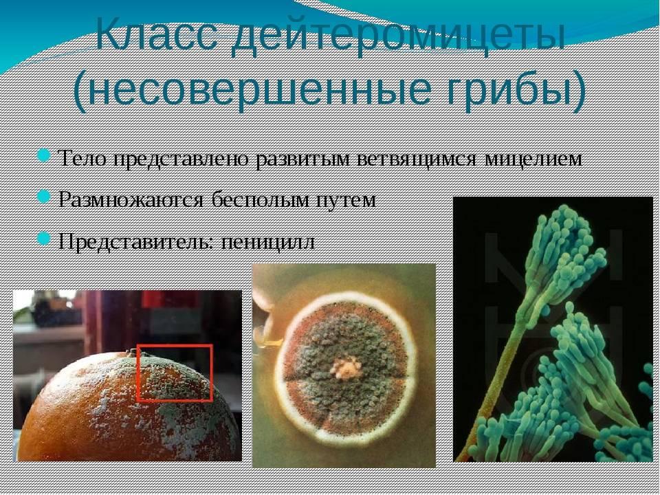 Несовершенные грибы и их представители - журнал садовода ryazanameli.ru