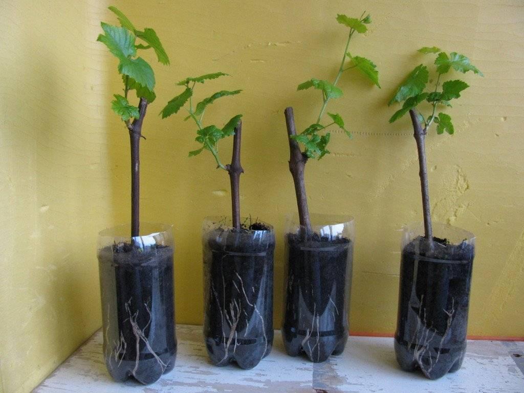 Выращивание и посадка саженцев винограда из черенков в домашних условиях