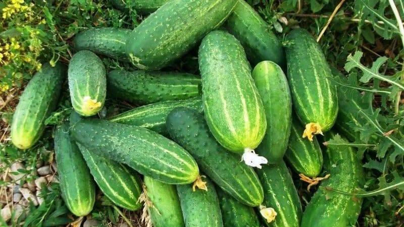 Огурец феникс: отзывы огородников, фото, урожайность сорта
