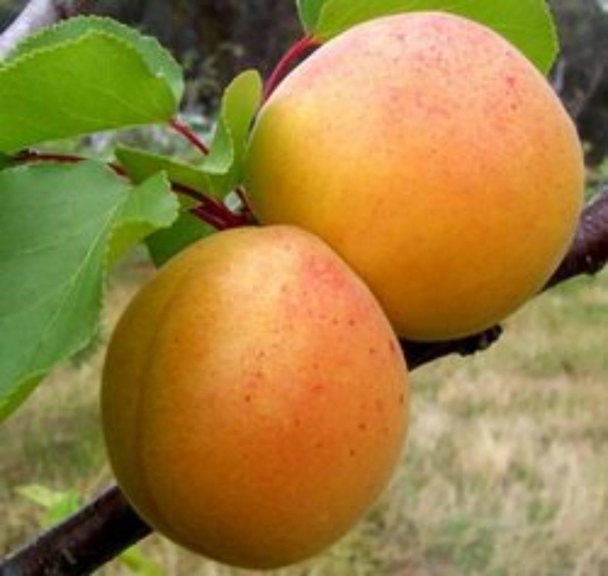 Абрикос ананасный: описание сорта, выращивание, фото, отзывы