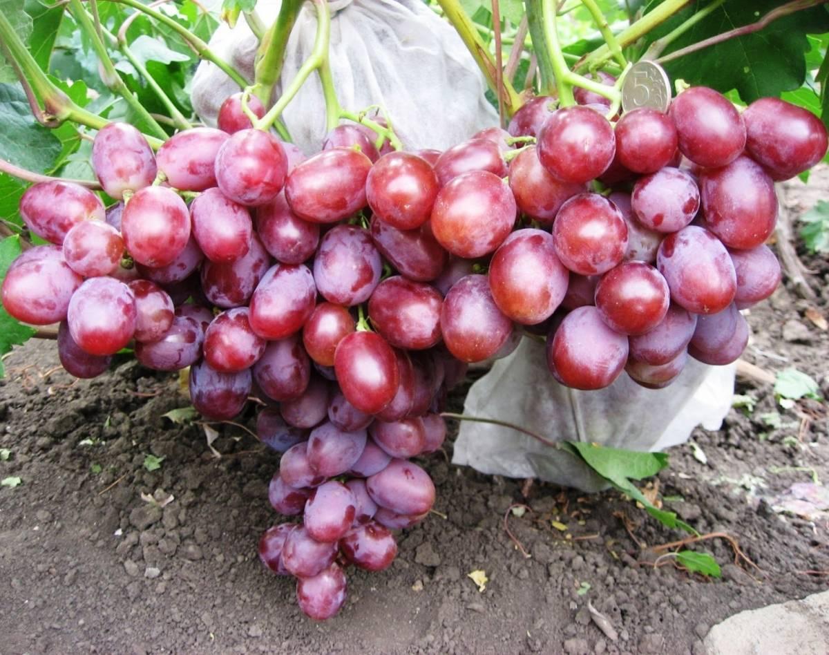 Виноград низина: описание с характеристиками, регионы разведения, посадка и уход