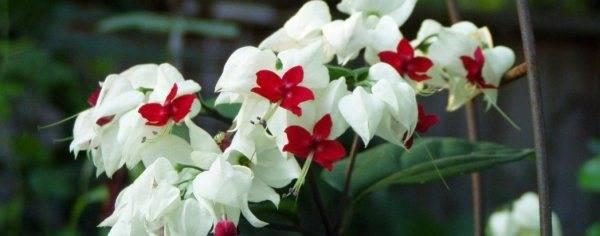 Клеродендрум: размножение и уход в домашних условиях, сорта и фото, томпсона, угандийский, филиппинский, инерме, бунге, шмидта, уоллича, почему комнатный цветок не цветёт?