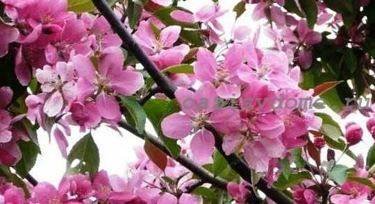 Подкормка яблони и груши весной: план подкормки в начале цветения, середине и конце весны, виды подкормок