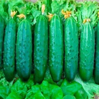 Огурцы сорт эстафета | вырасти сад!