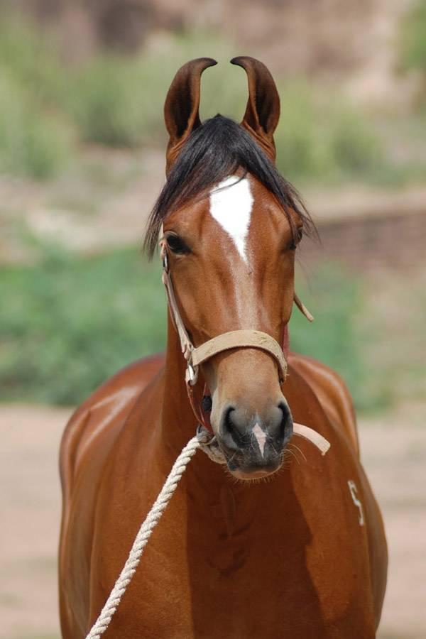 Марварская лошадь — википедия