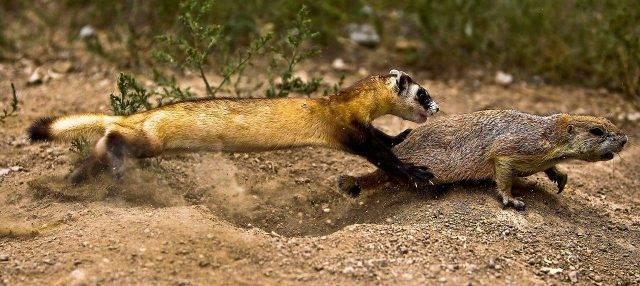 Хорек: описание животного, среда обитания, что едят, виды
