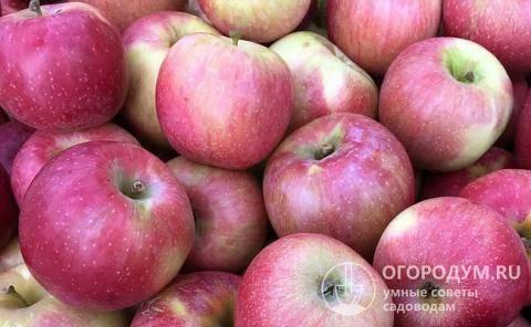 Яблоня флорина – краснощекая королева сада