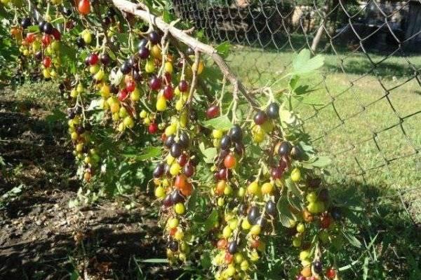 Смородина золотистая: фото, описание, посадка, выращивание и уход