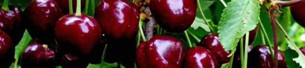 Сорта черешни районированные в беларуси разного срока