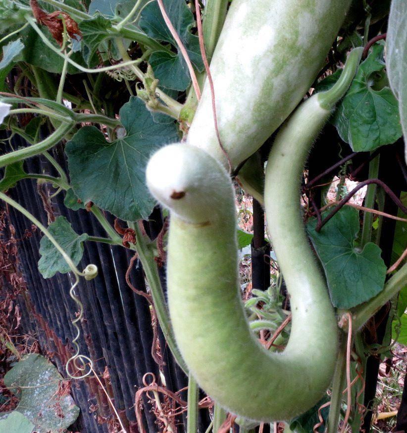 Выращивание лагенарии из семян в открытом грунте