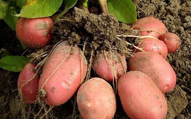 Картофель бела роса описание сорта отзывы: картошка беллароза