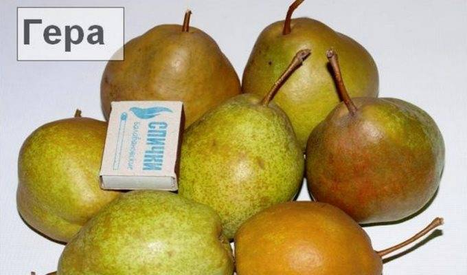 """Груша """"ника"""": фото плодов, описание сорта и его особенностей selo.guru — интернет портал о сельском хозяйстве"""