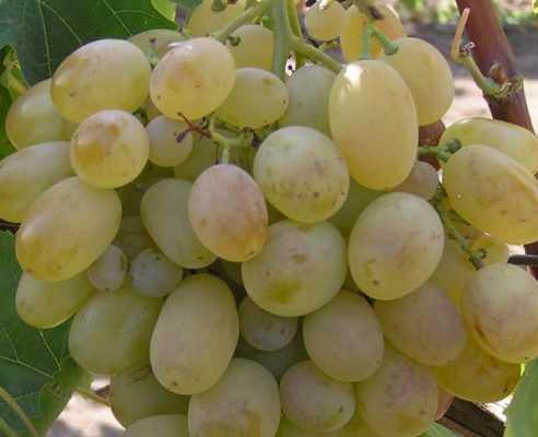 Описание сорта винограда ланселот