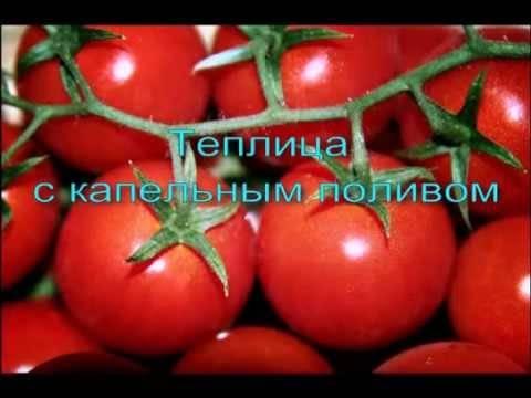 Как правильно поливать помидоры в открытом грунте методы полива отзывы