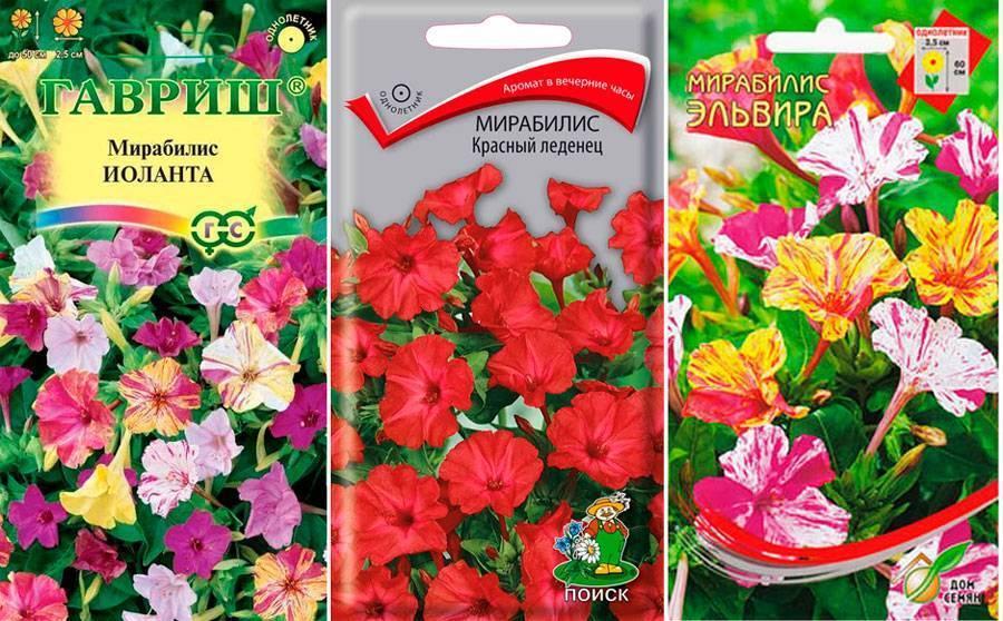 Цветок мирабилис: фото и советы по уходу и выращиванию