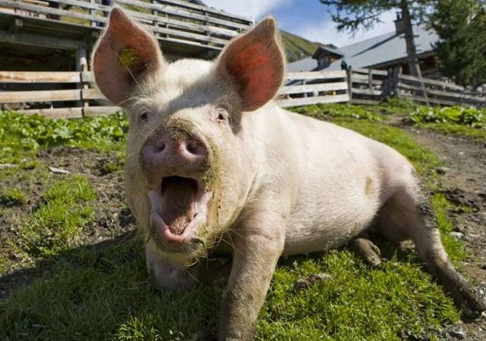 Составление рациона питания для откорма свиней на мясо