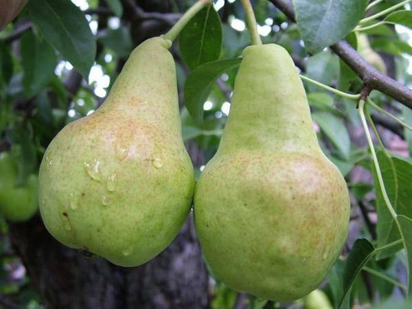 Лучшие сорта груши для средней полосы россии: зимние, самоплодные и самые вкусные
