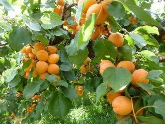 Зимостойкие и морозостойкие сорта абрикосов: описание сортов восторг, голдрич и многих других - дом и участок