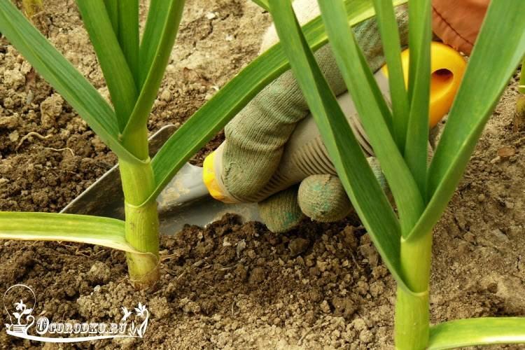 Подкормка чеснока летом для достижения высокой урожайности