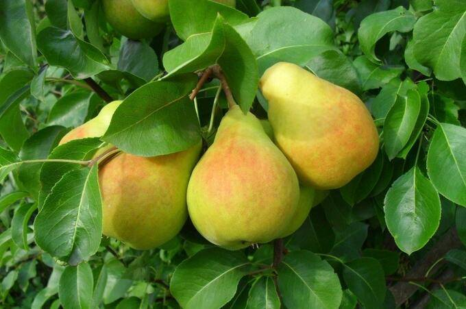 Груша шедевр анны — описание сорта, фото, отзывы садоводов | lean-center