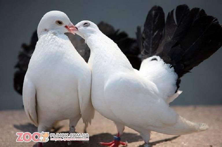 Породные группы голубей: какие бывают и почему их путают с видами. топ лучших представителей