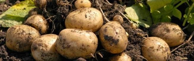 Как избавиться от картофельной моли: какие препараты для обработки использовать