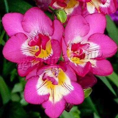 Фрезия выращивание и уход в открытом грунте: виды, фото, цветение