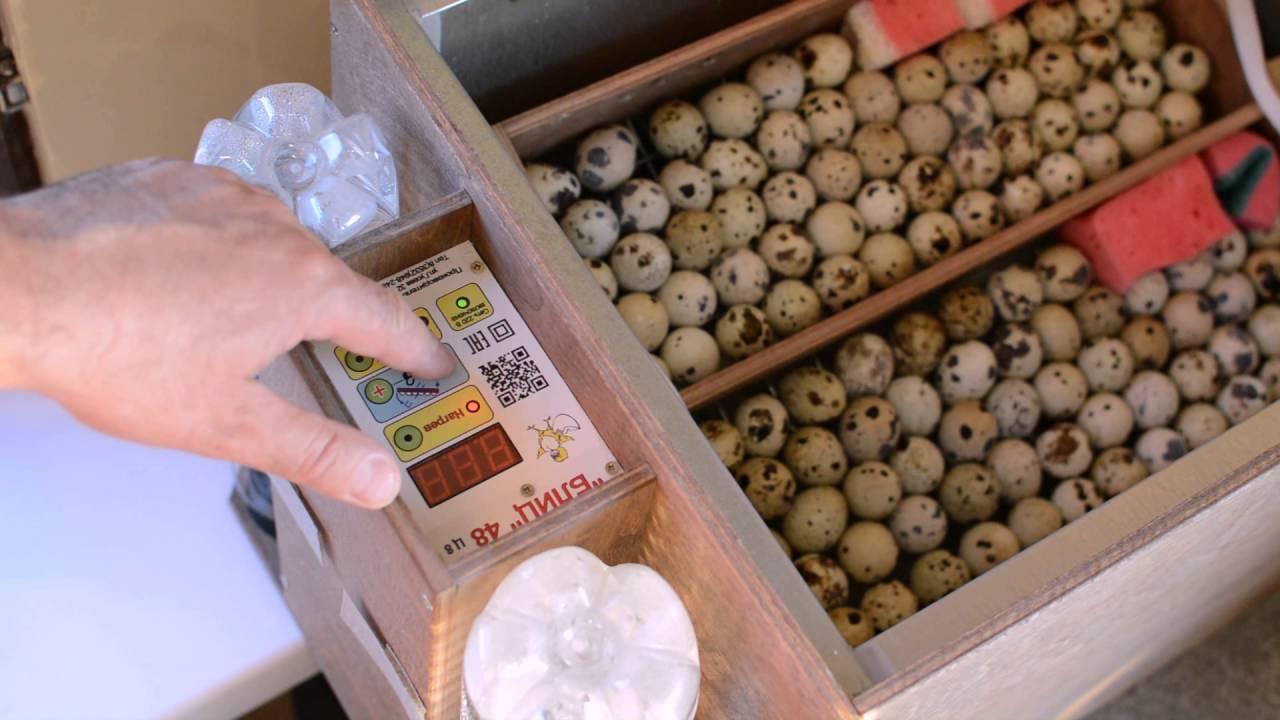 Особенности инкубации перепелиных яиц в домашних условиях
