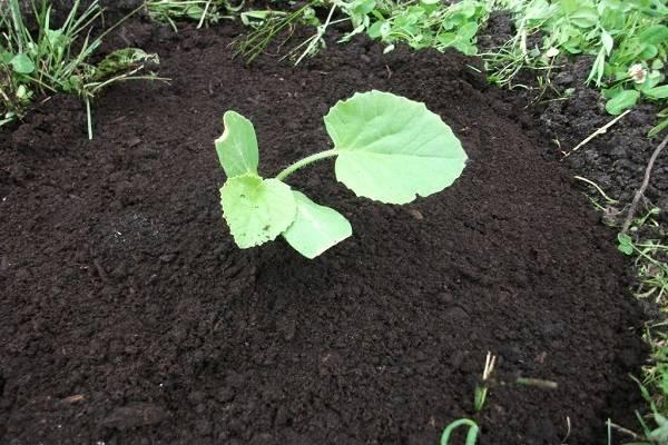 Чем подкормить кабачки на открытом грунте и в теплице: виды удобрений, полезные советы